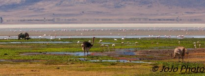 Cape Buffalo, Ostriches, and Flamingos in Ngorongoro Crater