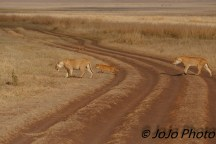 Lions with cub and Black-backed Jackals in the Ngorongoro Crater