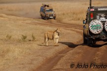 Lioness next to Duma Vehicle in Ngorongoro Crater