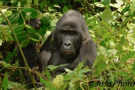 Kanyonyi - Silverback Gorilla and leader of the Mubare Family