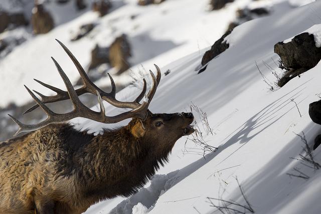late season elk