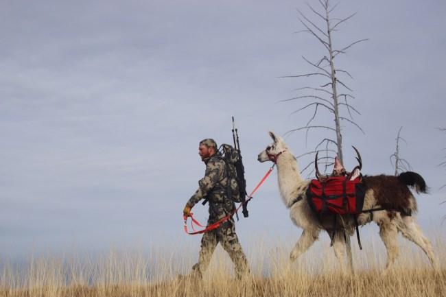 Pack Llamas and Hunting