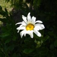 Nipponanthemum nipponicum 'Montauk' daisy