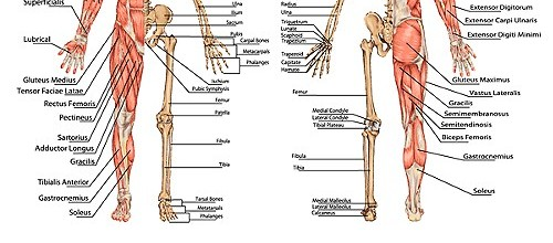 Bodyman Skeletal Pelvic Illiac Creast To Ishium Area