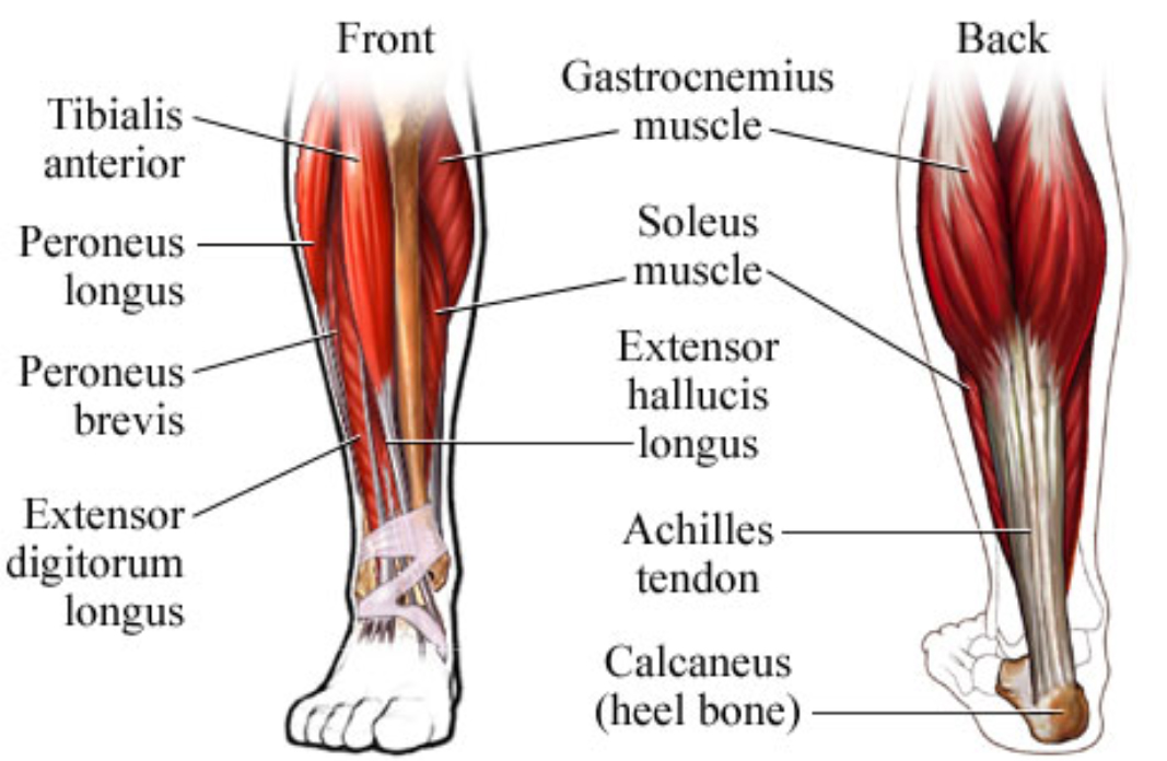 Ankle- Extensor Hallucis Longus & Brevis Muscle Pain