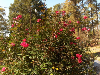Pruning Knockout roses (1/3)