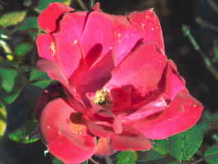 Pruning Knockout roses (3/3)