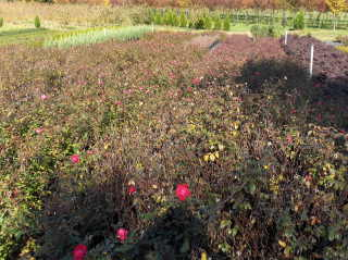 Pruning Knockout roses (2/3)