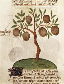 nutmeg-illustration-from-tractatus-de-everett
