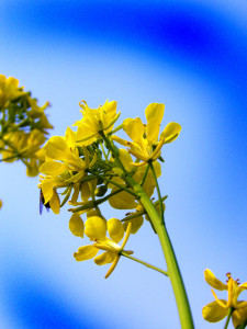 Mustard flowers from my farm in Indian village.