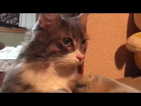 覗いてくる猫 ノルウェージャンフォレストキャットA cat peeps.Norwegian Forest Cat. #トラベル #旅行 #followme