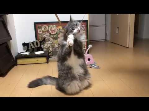 リボンに執着して二足立ちになる猫 ノルウェージャンフォレストキャットTwo-legged standing.Norwegian Forest Cat. #トラベル #旅行 #followme