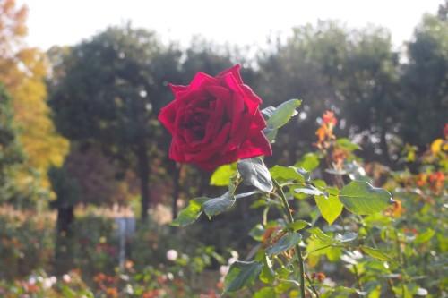 たった一本のバラ