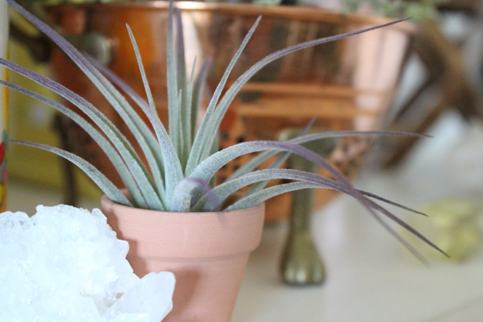 Creative Ways to Display Air Plants | Joi-Knows-How.com