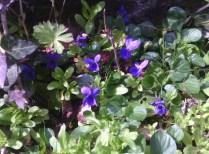 Some wild violets