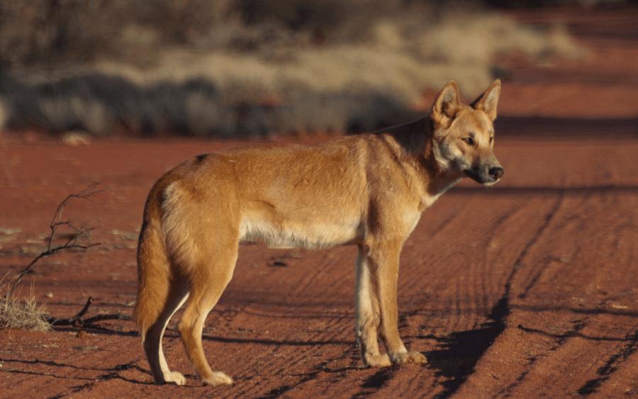 Динго — дикая собака