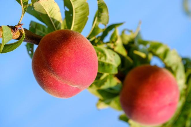 Целебные и питательные свойства персика - оздоровительный эффект
