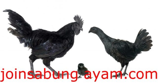 chicken-ayam-cemani