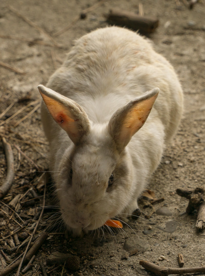 Okunoshima injured rabbit
