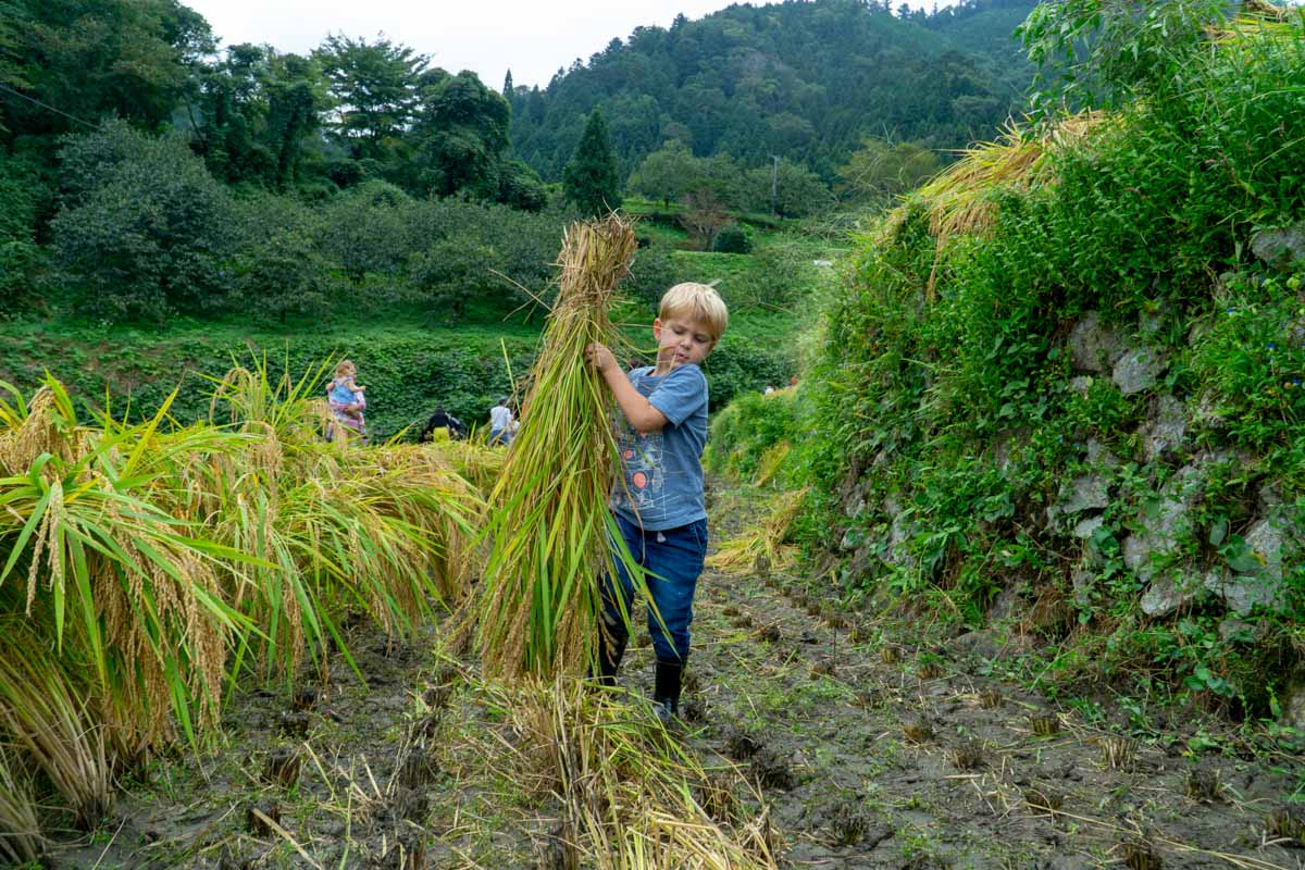 Rice Harvest, boy carrying bundles of rice