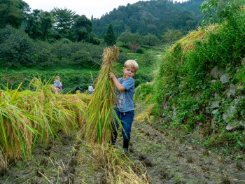 Ini-no Tanada Rice Harvest: A Centuries-old Tradition