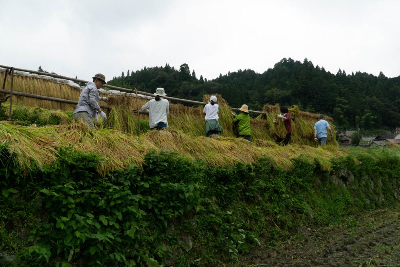 Rice Harvest, hanging it up to dry