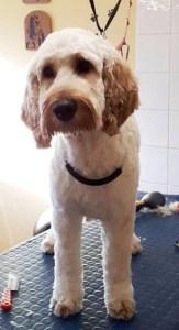Cockerpoo on a dog grooming table
