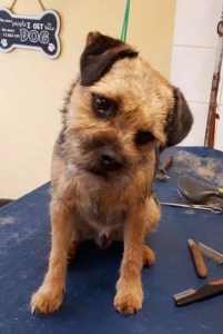 Border Terrier on a dog grooming table