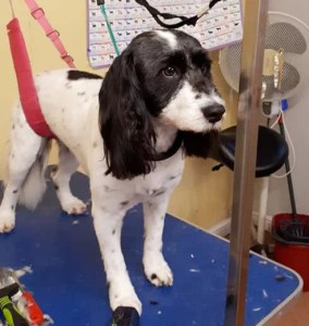 White spotted dog on a dog grooming table