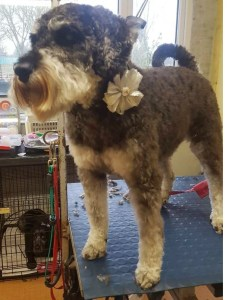 Schnauzer on a dog grooming table