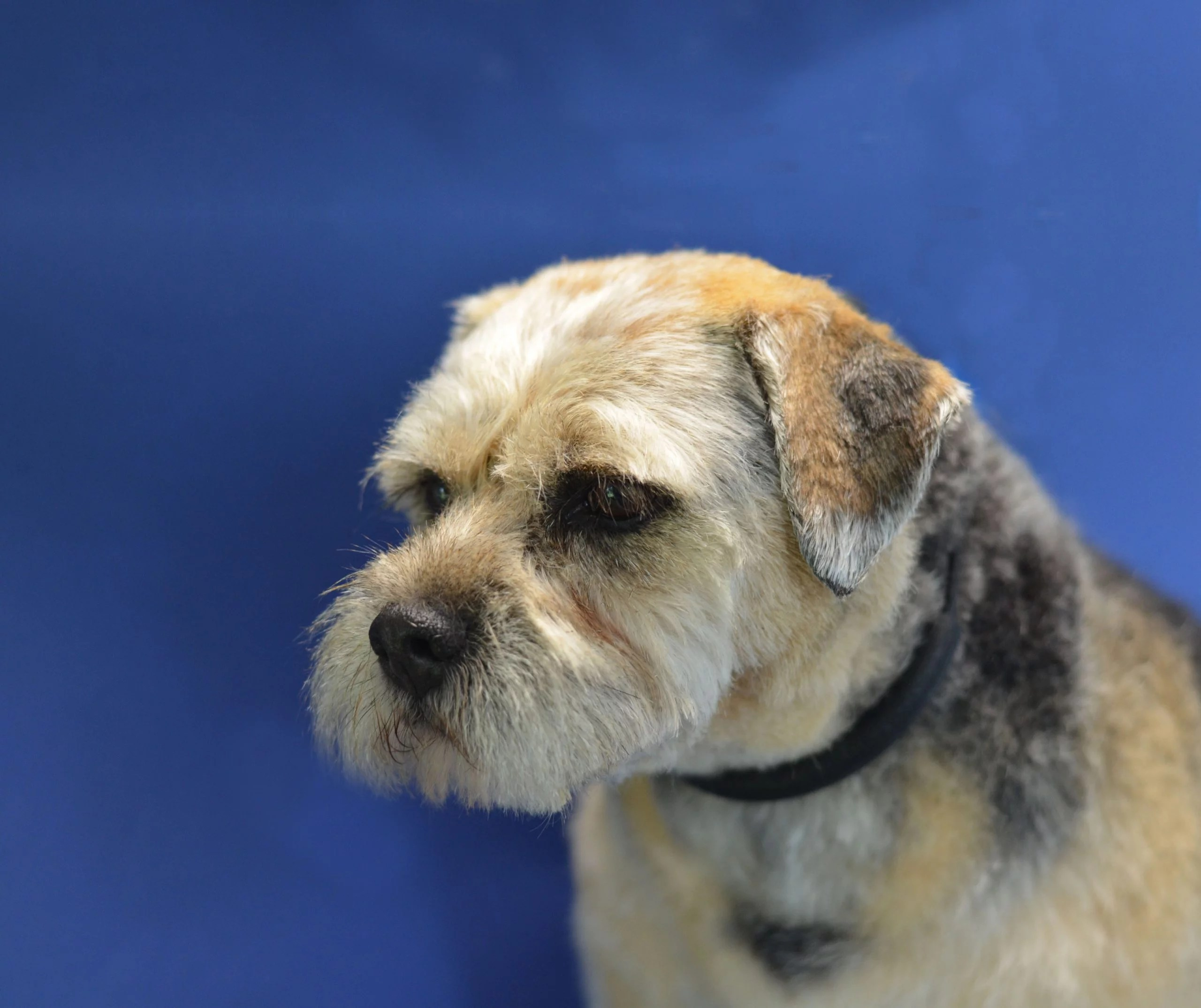 Border Terrier on a blue background