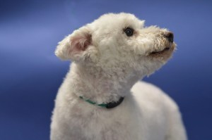 groomed dog sat down with blue background