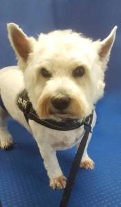 West Highland Terrier on blue background