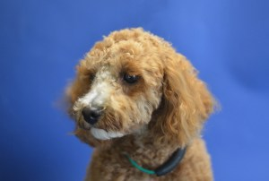 Cavapoo on a blue background
