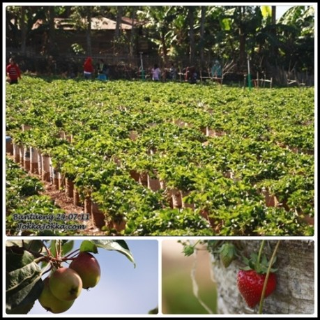 Kebun Stawberry Muntea