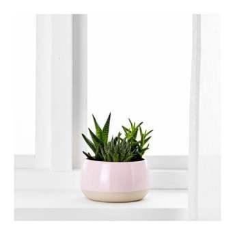 succulent-loncanica-tegla-roza__0507908_PE636099_S4