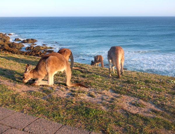 ou voir des kangourous australia