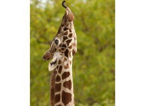 girafe-tend-langue-acme