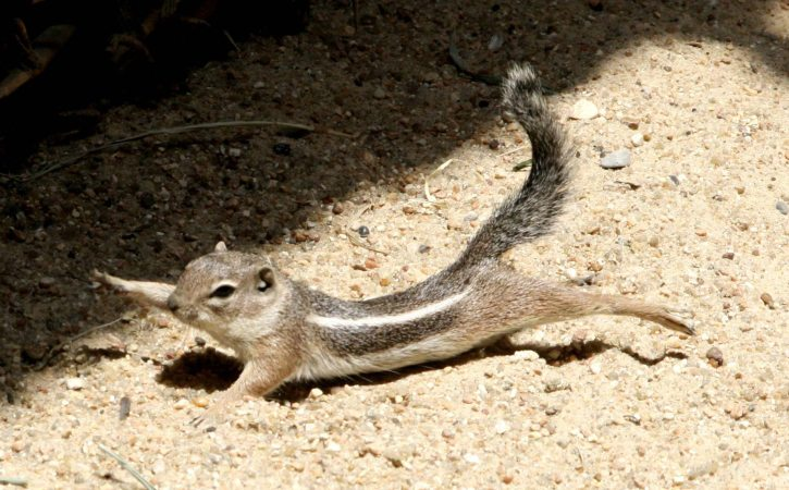ecureuil-tend-patte-dextralite