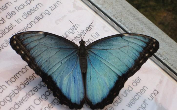 papillon-bleu-clair-azurin