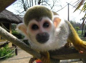 singe-proche-visage-sapajou