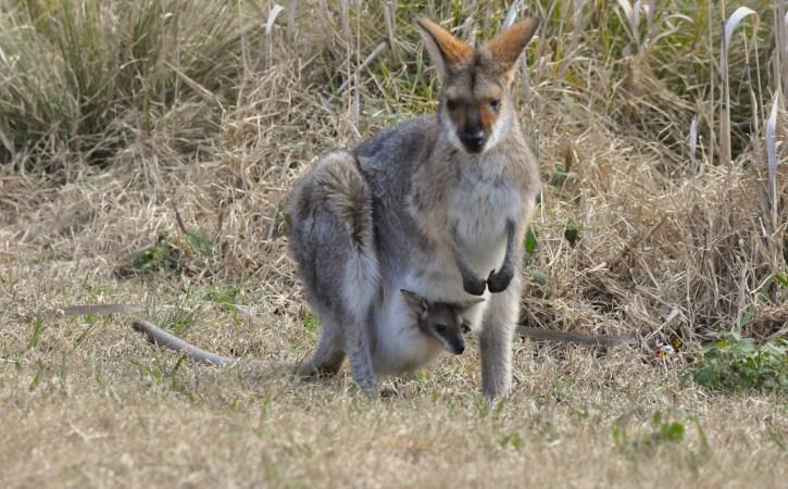 kangourou-poche-bebe-baguenaude