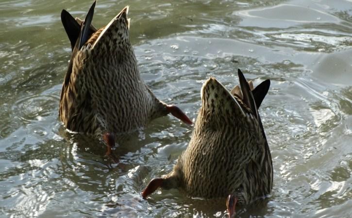 canards-tete-dans-l-eau-scurrile