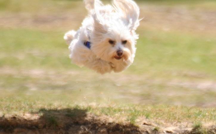 chien-blanc-saute-vole-ingambe