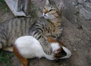 chat-cochon-d-inde-privaute