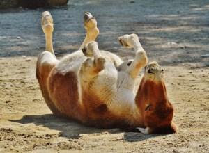 cheval-sur-le-dos-solecisme