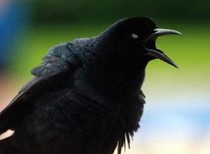 corneille-noire-diatribe