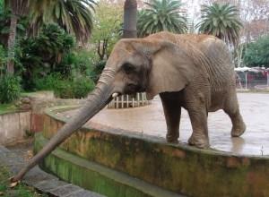 elephant-trompe-tendue-eburneen