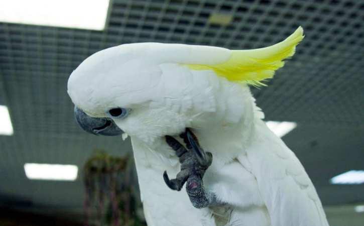 perroquet-blanc-ecoute-echolalie