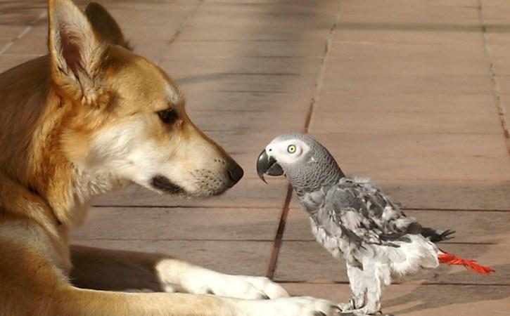 perroquet-devant-chien-impavide